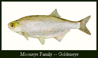 JPG -- Picture of a Goldeye.